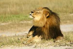 African Wildlife - Cecil the lion