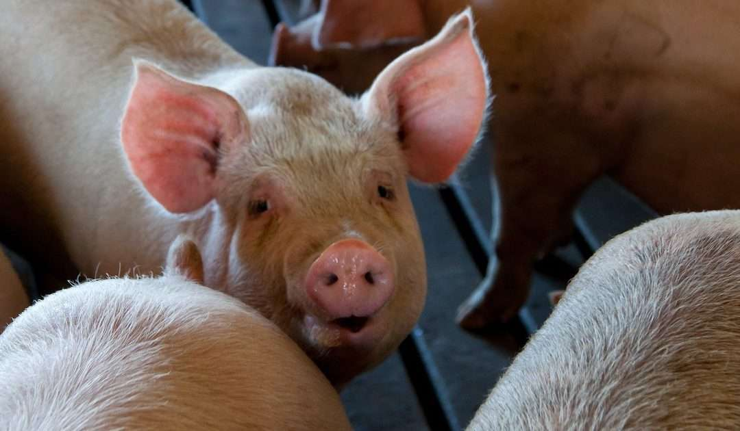 Concerns over New Pandemics and Climate Change Spur UK NGOs to Take Legal Action to End Factory Farming